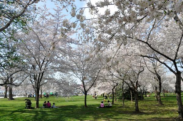 blossoms_picnic