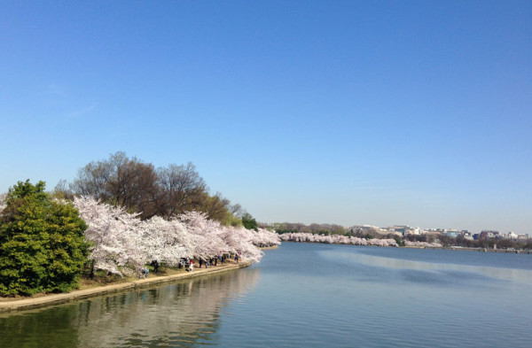 Blooms along the Tidal Basin