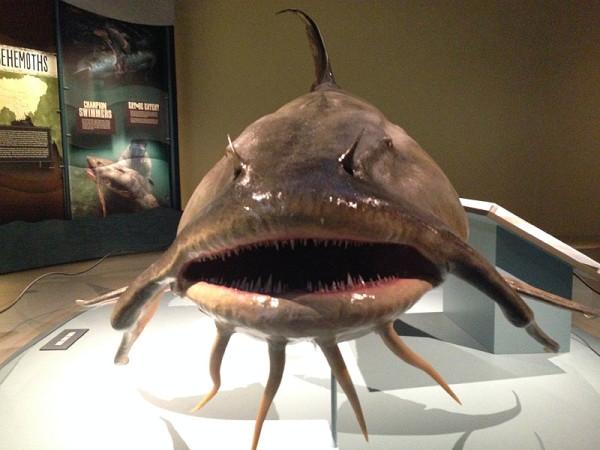 monsterfish_goonch1